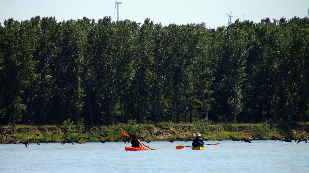 cormorani pe raul olt