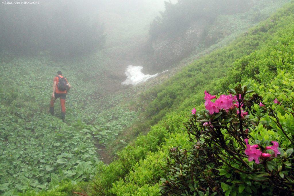 rododendron in ciucas