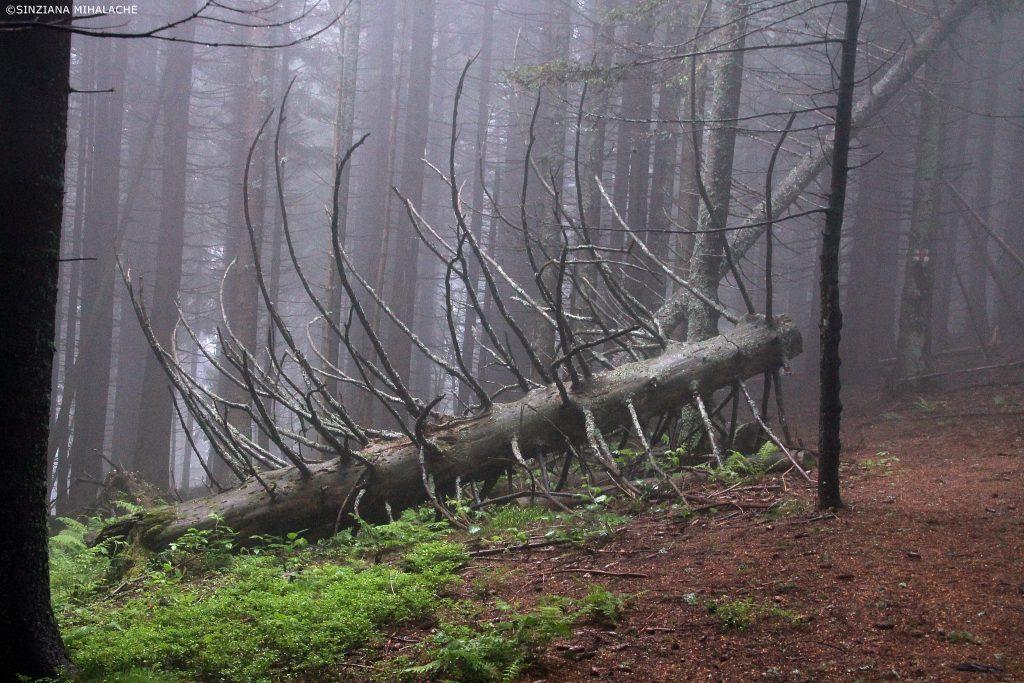copac doborat pe traseu ciucas
