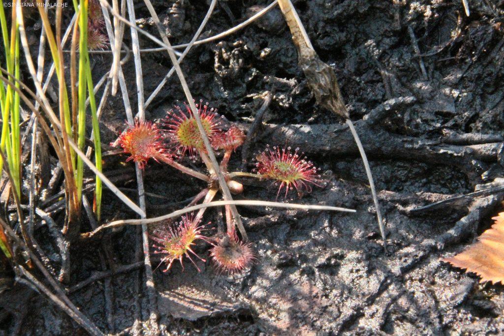 planta carnivora pesteana